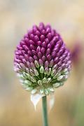 Allium sphaerocephalum - drumstick flower