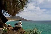 Schwarzbrauenalbatros | Black browed albatross  (Diomedea melanophris)