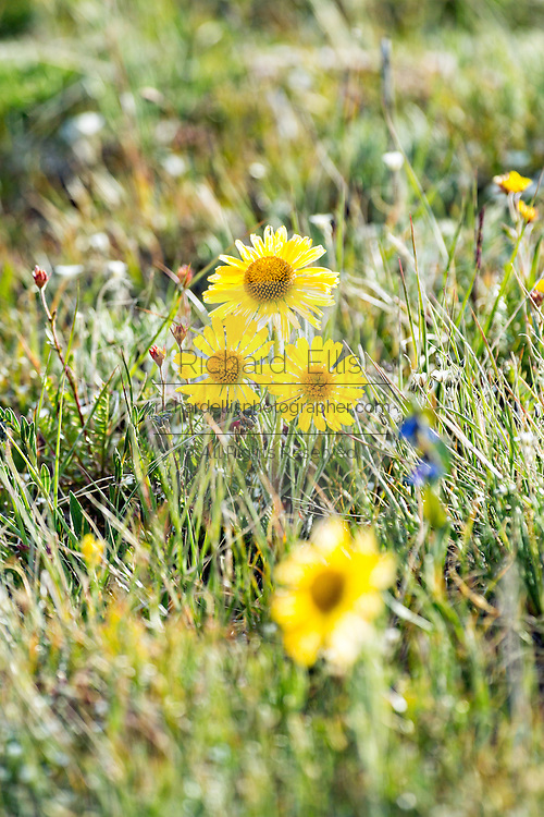 Alpine sunflowers blooming in a meadow in the Rocky Mountain National Park in Estes Park, Colorado.