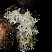 A Tremella fuciformis fungi commonly known as a Jelly fungus on a fallen tree in Haui Kha Khaeng, Thailand.Tremella is a genus of fungi in the family Tremellaceae.