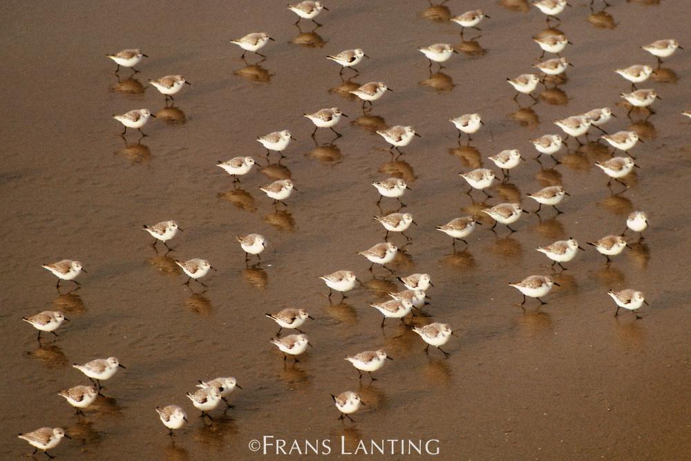 Sanderlings on beach, Calidris alba, Monterey Bay, California