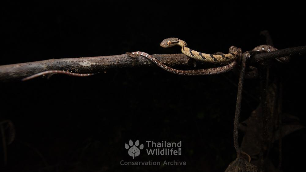Thai Cat Snake (Boiga siamensis) juvenile in Kaeng Krachan national park, Thailand