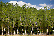 Copse of silver birch trees at Rigny Usse in the Loire Valley