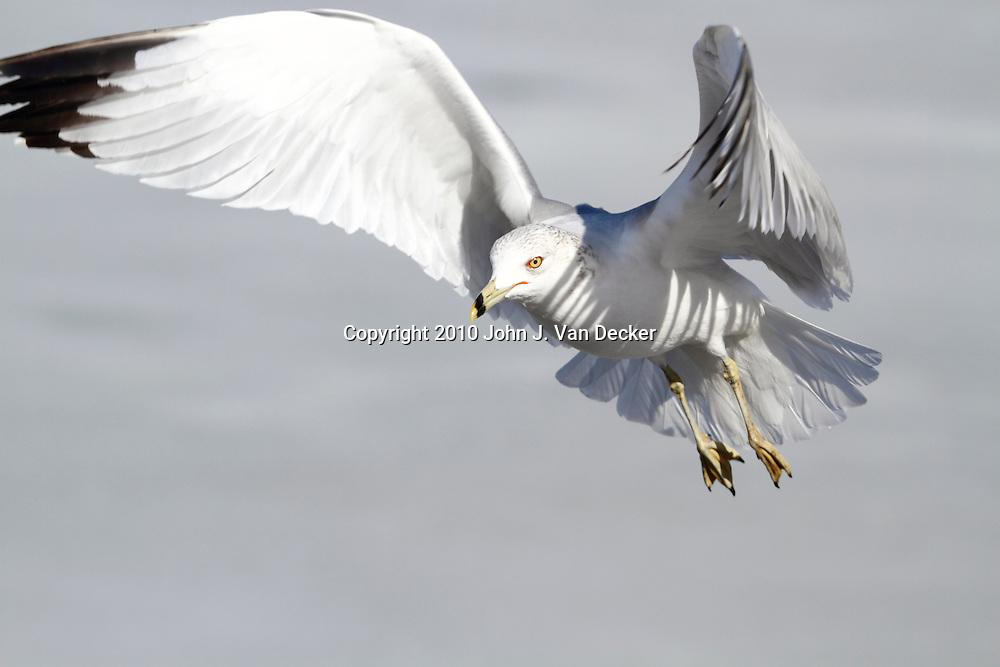 Ring-billed Gull, Larus delawarensis, in flight