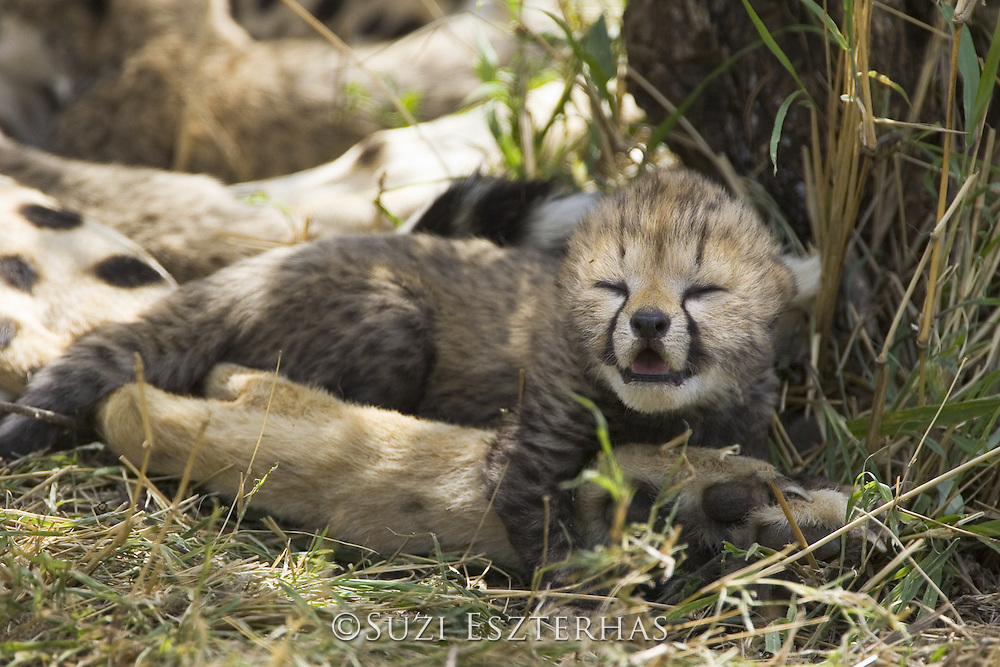 Cheetah<br /> Acinonyx jubatus<br /> 6 day old cub resting on mother's leg in nest<br /> Maasai Mara Reserve, Kenya