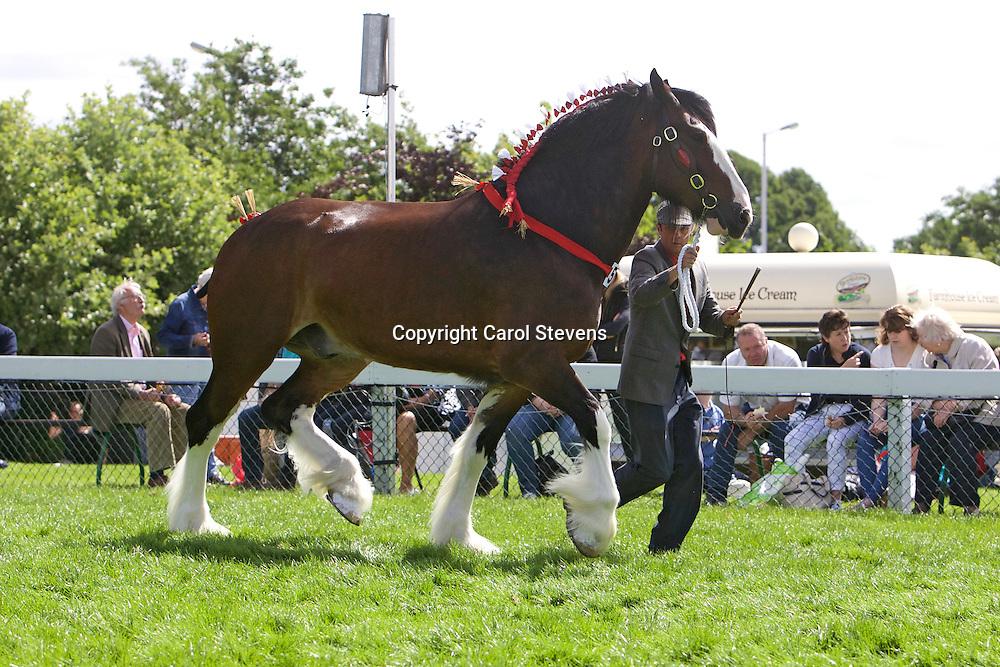 Wendy Toomer-Harlow's 7yr old Bay Gelding<br /> Walton Bomber<br /> Sire  Caeberllan Buskot<br /> 1st  Gelding, 4yrs old or over Class