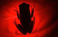 DEU, Deutschland: Makifrosch oder Affenfrosch (Phyllomedusa hulli) in typischer Schlafstellung, viele Laubfrösche heften sich während des Tages an die Unterseite eines Blattes, diese Art wurde erst 1995 beschrieben, Herkunft: Südamerika | DEU, Germany: Monkey frog (Phyllomedusa hulli) typical sleeping position, some leaf frogs adhering on underside of a leaf during the day, these species first discovered in 1995, origin: South America |