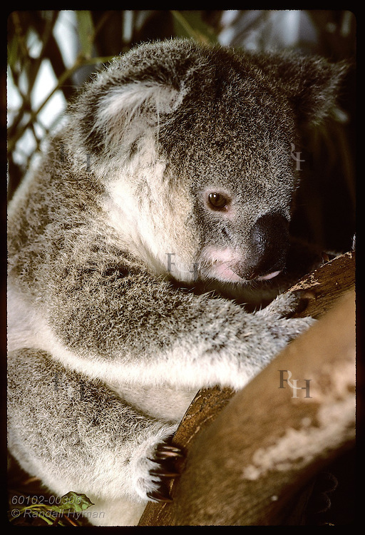 Orphaned 9-month-old koala hunches in branch in his cage at the Eprapah rehab center;(v)Brisbane Australia
