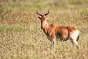 Coke's Hartebeest (Alcelaphus buselaphus cokii) This antelope stands 1.5 metres tall at its shoulder and can weigh up to 200kg, they live in open forests and grasslands and feed mainly upon grass. Their name derives from the distinctive heart shape formed by the curve of their horns when viewed from the front. Photographed in Tanzania