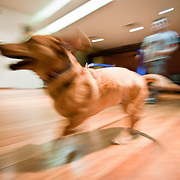 November 11, 2009 - Bronx, NY : Jorge Melara of Divine K-9 leads a dog obedience course at the Fieldston Ethical Culture Society on Thursday in mid November.  Tully, a basset hound cross and his 'mom' Catherine McShane, participate in the course.