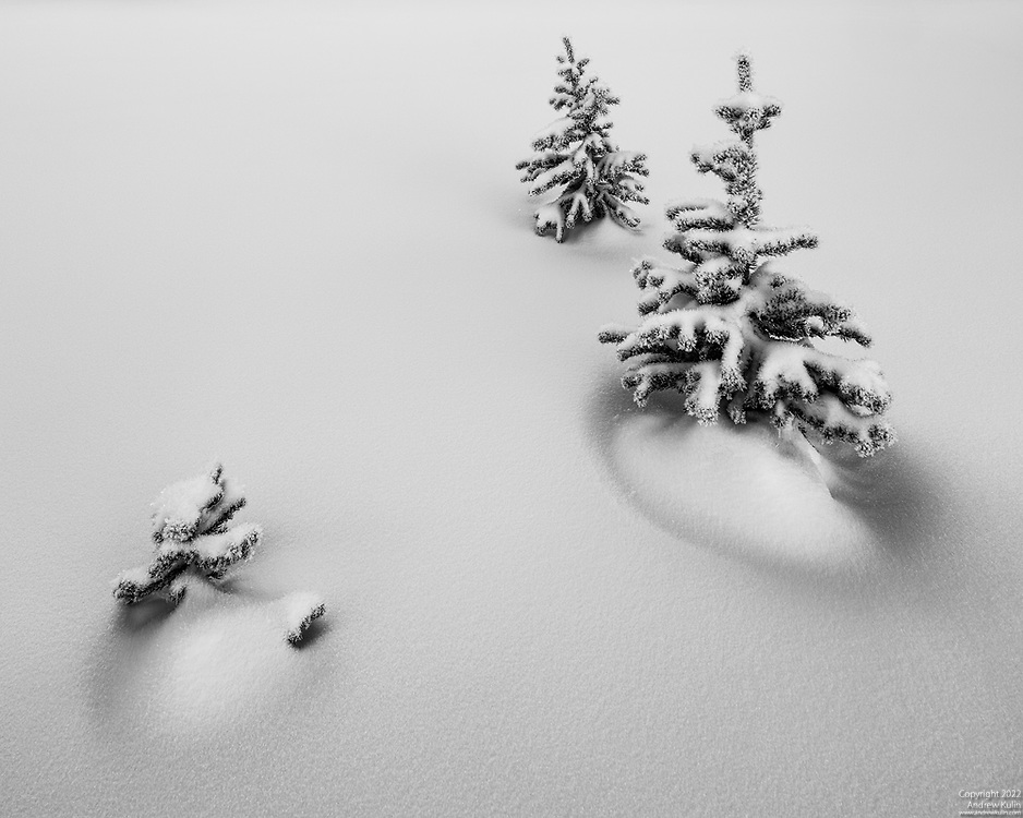 Trio of fir trees and freshly fallen snow.   Icefields Parkway, Banff National Park.