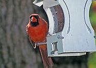 Male cardinal at a feeder.