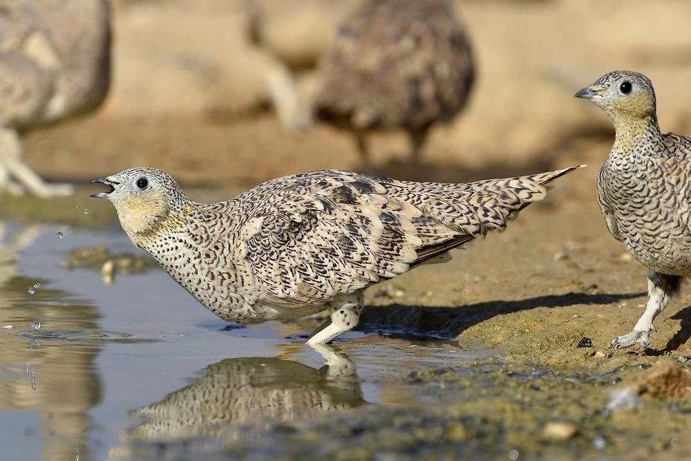 Crowned Sandgrouse - Pterocles coronatus