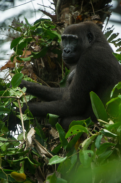 Western lowland gorilla (Gorilla gorilla gorilla)<br /> Ngaga<br /> Odzala - Kokoua National Park<br /> Republic of Congo (Congo - Brazzaville)<br /> AFRICA<br /> Range: lowland swamps of Angola, Cameroon, Central African Republic, Congo, DRC, Equatorial Guinea and Gabon<br /> IUCN STATUS: Critically endangered