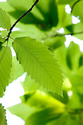 Close up of fresh young pale green chestnut leaf on a tree with backlit foliage beyond Europe