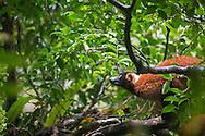 red ruffed lemur, Varecia rubra, Rote Vari, lémur rufo rojo, Vari roux , エリマキキツネザル属, 領狐猴屬, ليمور مطوق