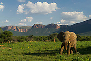 African Elephant (Loxodonta africana) with Waterberg mountains in back<br /> Marakele Private Reserve, Waterberg Biosphere Reserve<br /> Limpopo Province<br /> SOUTH AFRICA<br /> RANGE: Throughout sub-Saharan Africa