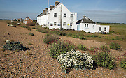 Sea kale flowering near Coastguard Cottages, Shingle Street, Suffolk, England
