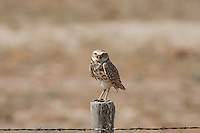 Burrowing Owl found perched on a wooden fence post in the west desert of Utah.