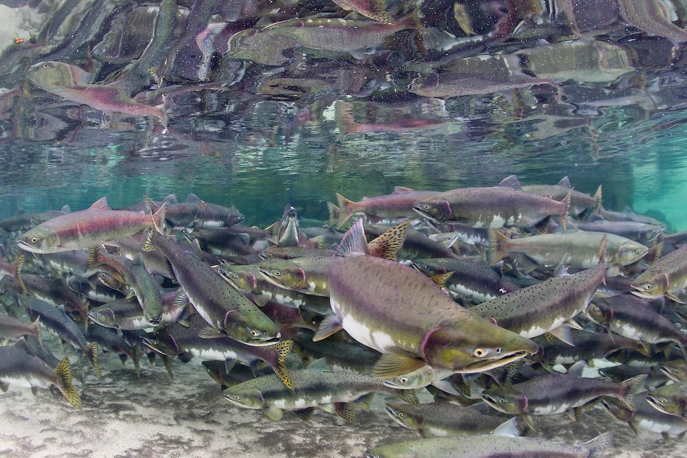 USA, Alaska, Katmai National Park, Underwater view of spawning Chum Salmon (Oncorhynchus keta) in stream near Kuliak Bay on rainy summer day