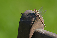 A dragonfly in the garden alights on a garden chair