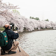 A photographer uses a tripod to take a photo of teh cherry blossoms along the edge of the Tidal Basin on an overcast day. Each spring, the blooming of the nearly 1700 Japanese cherry blossom trees around the Tidal Basin (and about 2000 others nearby) is a major tourist draw for Washington DC.