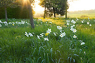 Naturalised daffodils in meadow
