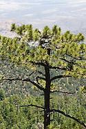 Short-tailed Hawk  (Buteo brachyurus) nest in Arizona Pine (Pinus arizonica); Arizona, (Nesting Record)