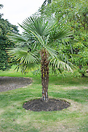 Trachycarpus fortunei (Chinese windmill palm, windmill palm or Chusan palm) after pruning to shape at RBG Kew
