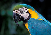 Portrait of a blue and yellow macaw (Ara ararauna). Native to Eastern Panama to NE Brazil. Captive in Portland, Oregon.