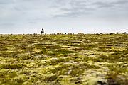 Sheep herding on horseback.