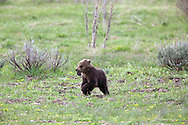 Grizzly bear cubs of the year