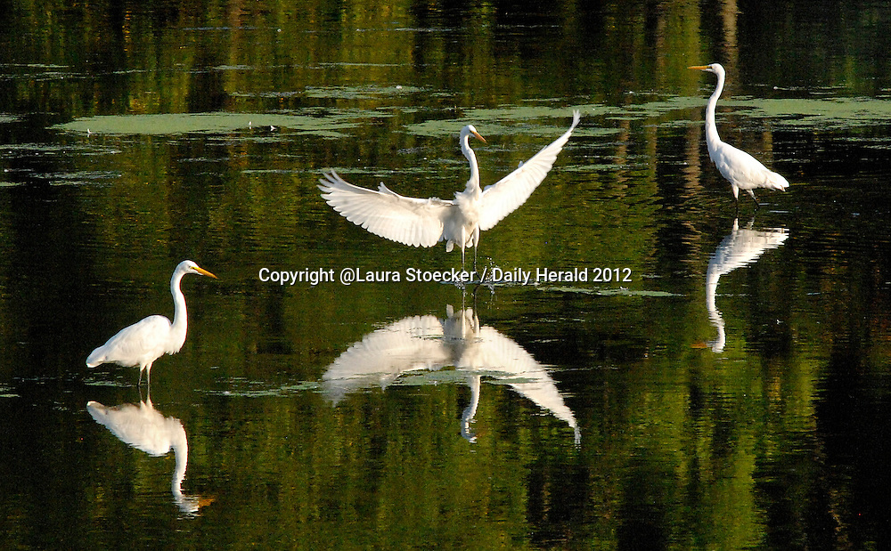 Laura Stoecker/lstoecker@dailyherald.com<br /> An egret flies in to form a cluster of the water-wading birds near Tekakwitha Woods in St. Charles at sunset. Low water levels have egrets and great blue herons gathering in large groups to feed.