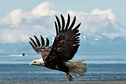 A bald eagle flies along the beach at Anchor Point, Alaska.