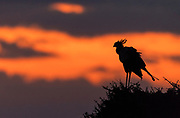Secretarybird (Sagittarius serpentarius) against the rizin sun in Maasai Mara, Kenya.