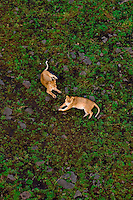 Aerial view of two lionesses, Masai Mara National Reserve, Kenya