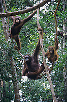 Three Orangutans hanging in trees