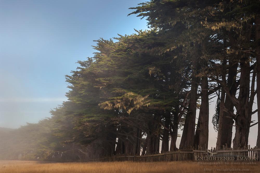 Cypress Trees form wind break along the California Coast; near Point Arena; California