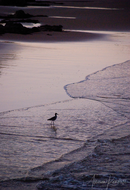 A shorebird is silhouetted on a Monterey beach at sunset