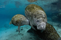 Florida manatee, Trichechus manatus latirostris, a subspecies of the West Indian manatee, endangered. January 13, 2012, a series of the documented adoption of a small female orphan manatee calf. Small female orphan manatee tries to nurse from the immature older calf of the potential adoptive mother. Indicates the naive nature of small manatees as the older female calf cannot lactate. Horizontal orientation with warm blue spring water on a cold day. Three Sisters Springs, Crystal River National Wildlife Refuge, Kings Bay, Crystal River, Citrus County, Florida USA.