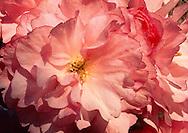 Cherry Blossoms, Tight, Macro, single blossom, Greenport, New York, Long Island, North Fork