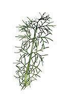 Sea Mayweed - Tripleurospermum maritimum