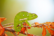 Flap-necked chameleon looking forward sitting on a branch with autumn orange leaves ready to fall.  Facing camera right, tail visible and curled up. White to green out of focus background.<br /> <br /> The Flap-necked chameleon (Chamaeleo dilepis), is native to sub-Saharan Africa. It is a large chameleon, reaching 35 cm (14 in). Colouring ranges through various shades of green, yellow, and brown. There is usually a pale stripe on the lower flanks and one to three pale patches higher on the flanks. These chameleons lay 25 to 50 eggs in a hole dug in soil, which is covered over again by the female.