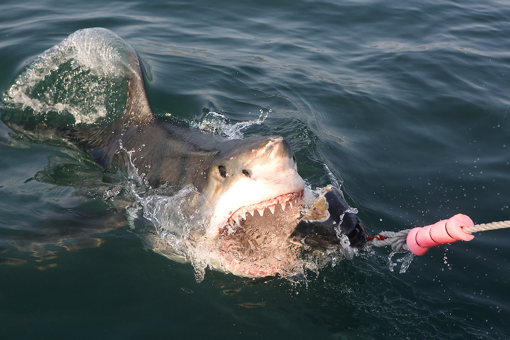 Great white shark in Mossel Bay, South Africa