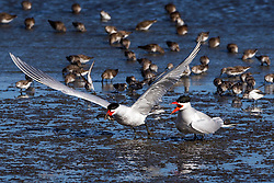 Common Tern (Sterna hirundo) pair, one with fish flying, Coyote Point Recreation Area, San Mateo, California, United States of America