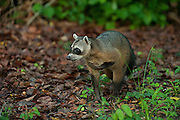 Crab-eating Raccoon (Procyon cancrivorus) HABITUATED<br /> Savannah<br /> Rupununi<br /> GUYANA. South America<br /> RANGE: Central and South America including Trinidad and Tobago