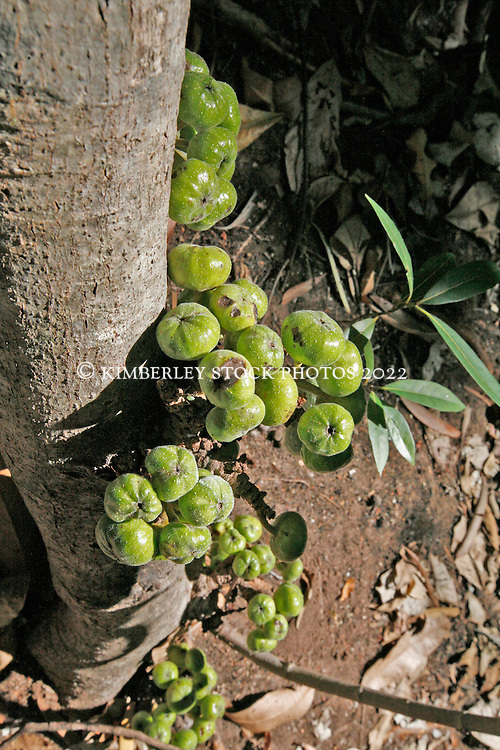 A cluster of figs growing in a rainforest pocket on the edge of the Sale River in Doubtful Bay on the Kimberley coast.