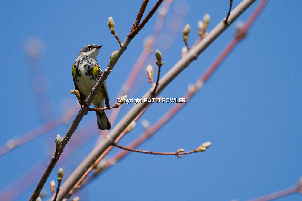 Yellow rumped warbler on spring budding branch