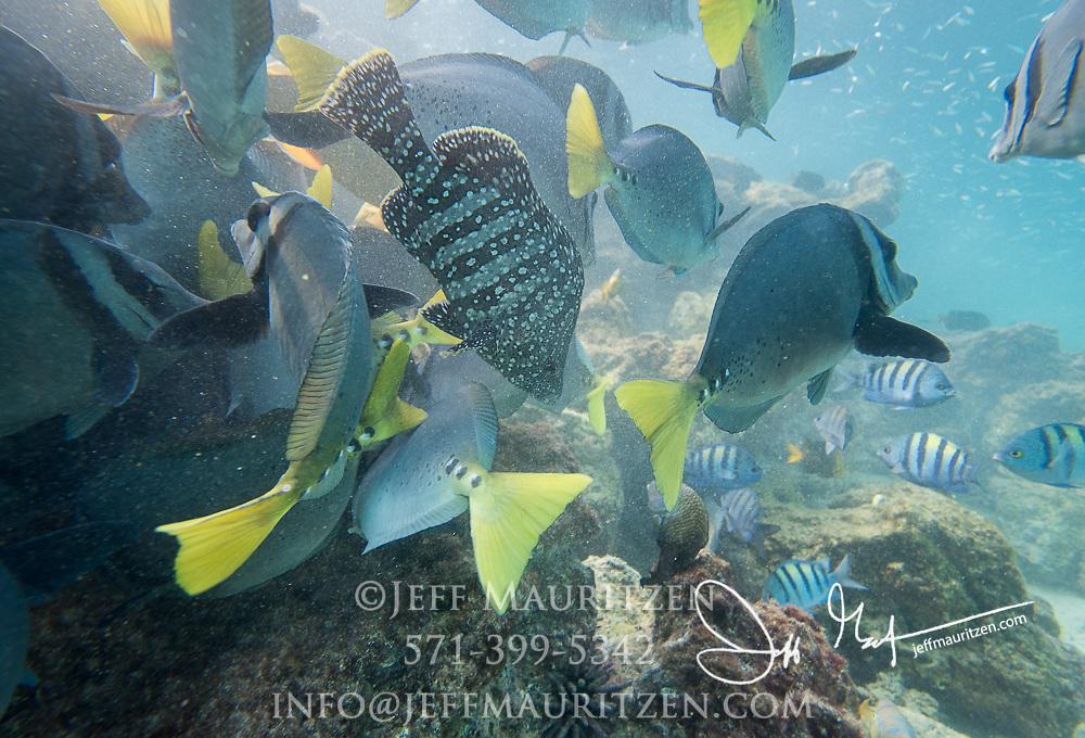 A school of Razor surgeonfish feed along the seafloor near Sombrero Chino, Galapagos islands.