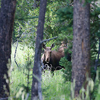 A female moose in Rocky Mountain National Park.